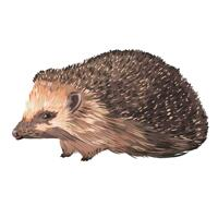 Hedgehog Cartoon Drawing Portrait in Colored Style from Photo