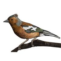 Realistic Chaffinch Portrait in Color Digital Style from Photo