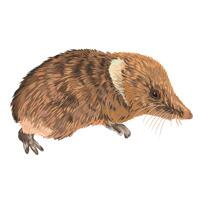 Shrews Animal Caricature Portrait in Full Body Color Style from Photo